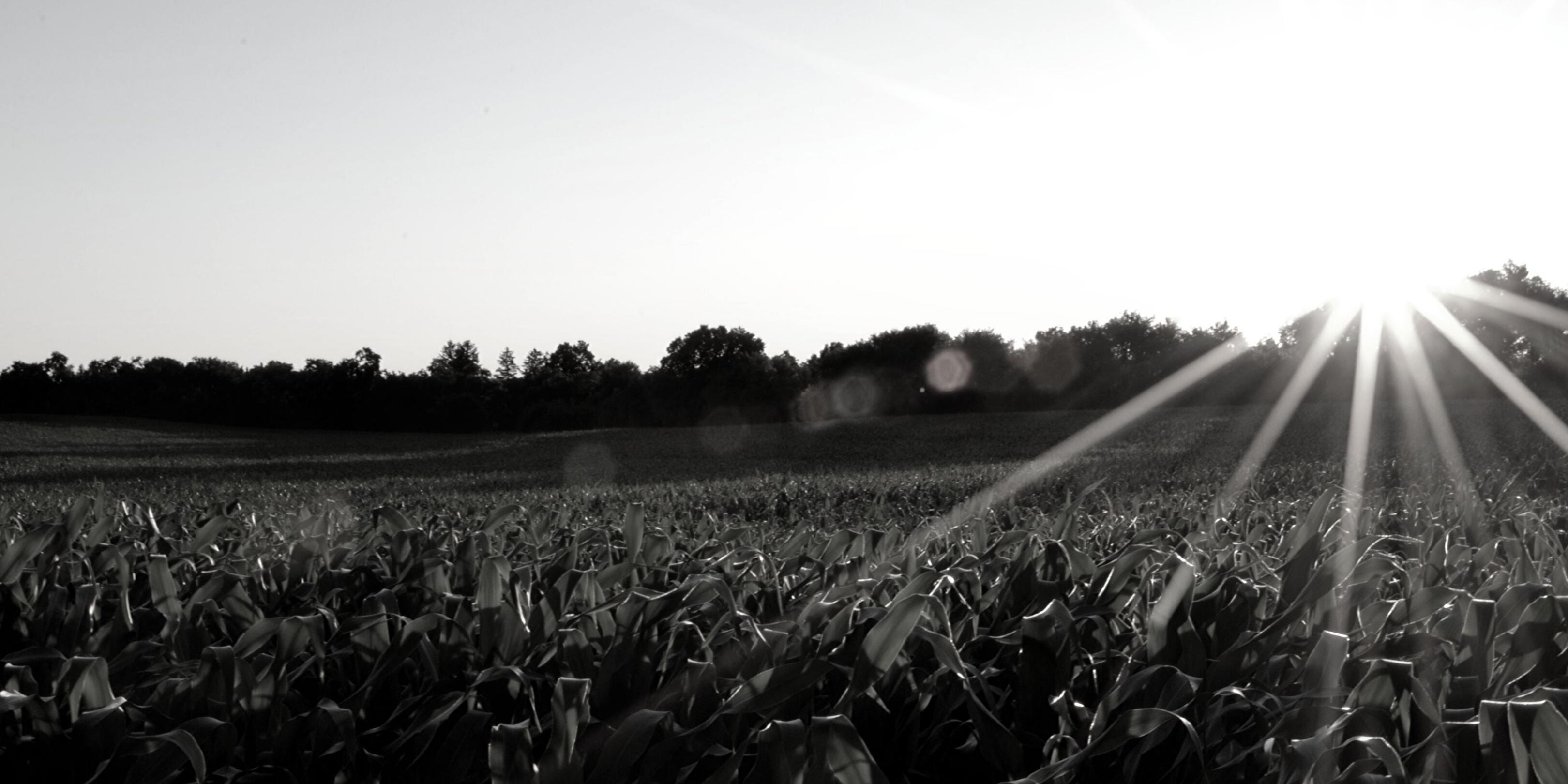 Planter des haricots avec du maïs